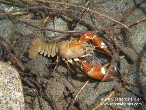 Crayfish - crustacean - Chemainus River