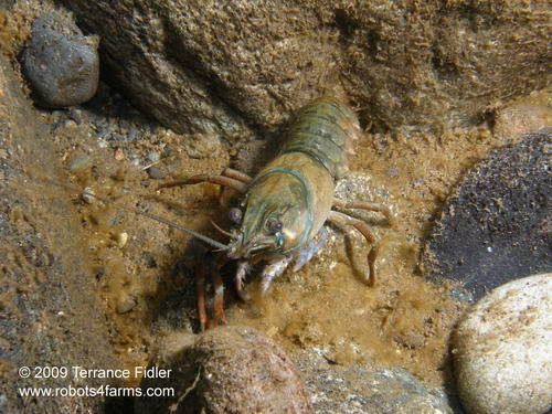 Crayfish - crustacean - missing claws - injured