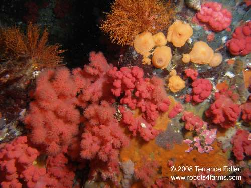 Red Soft Corals
