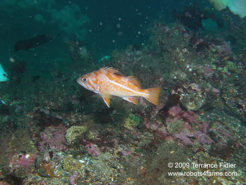 Canary Rockfish, Croaker Rock, Browning Passage, Port Hardy