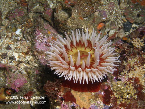 Rose Or Fish-Eating-Anemone, Browning Passage, Port Hardy