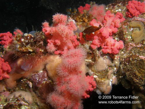 Soft Rose Coral, Croaker Rock, Browing Passage, Port Hardy