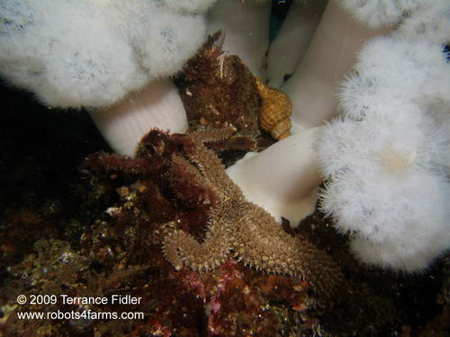 Velcro Starfish, Croaker Rock, Browning Passage, Port Hardy