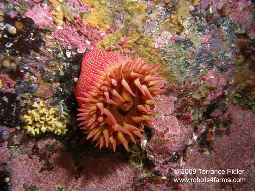 Whitespotted Rose Anemone, Croaker Rock, Browning Passage, Port Hardy