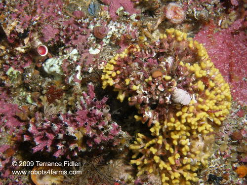 Pink Encrusting Algae and Yellow Boring Spong, Croaker Rock, Browing Passage, Port Hardy