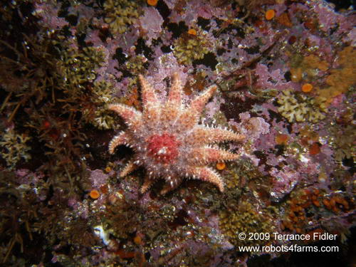 Rose Starfish, Hideaway Island, Browning Passage, Port Hardy