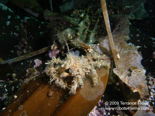 Decorator Crab, Hussar Point, Browning Passage, Port Hardy