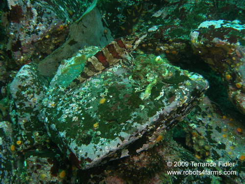 Painted Greenling, Hussar Point, Browning Passage, Port Hardy