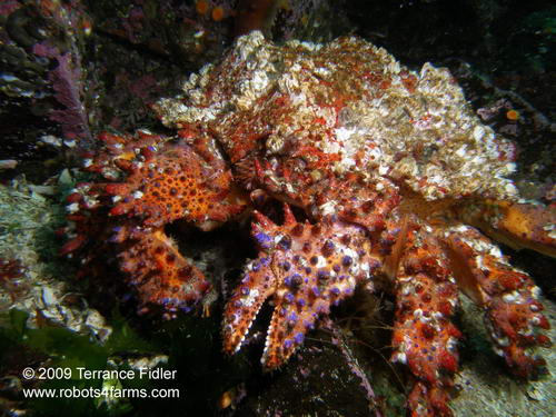 Puget Sound King Crab, Hussar Point, Browning Passage, Port Hardy