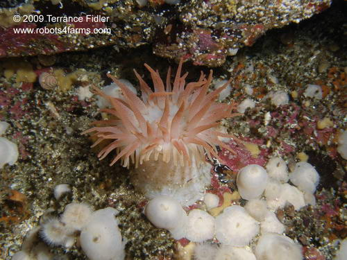 Crimson Anemone, Rock of Life, Browning Passage, Port Hardy