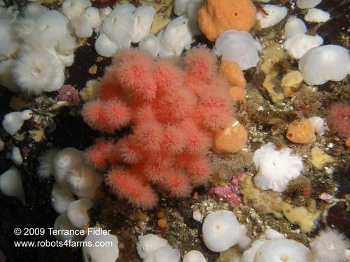 Red Soft Corals, Rock of Life, Browning Passage, Port Hardy