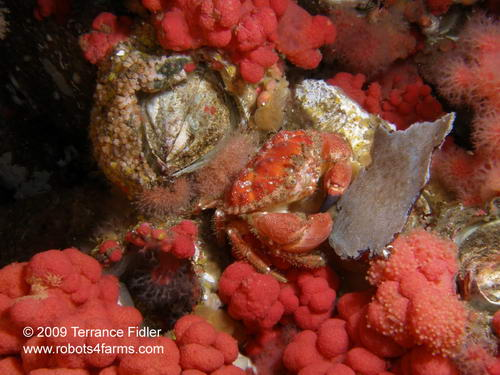 Pygmy Cancer Crab, Seven Tree Island, Browning Passage, Port Hardy