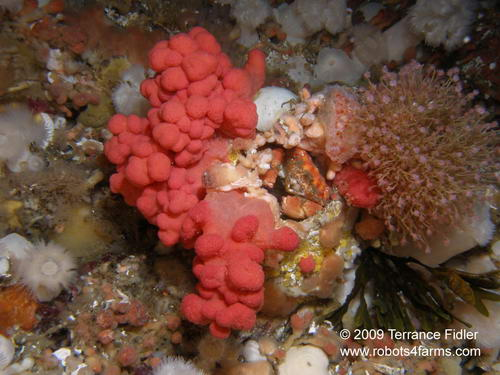Pygmy Rock Crab, Seven Tree Island, Browning Passage, Port Hardy