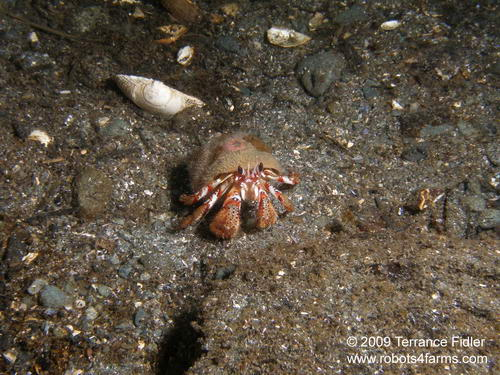 Black Eyed Hermit Crab