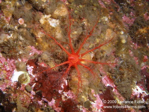 Creeping Petal Sea Cucumber echinoderm  - China Creek near Port Alberni - scuba diving site vancouver island british columbia canada