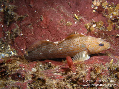 Kelp Greenling - a fish - China Creek near Port Alberni - scuba diving site vancouver island british columbia canada