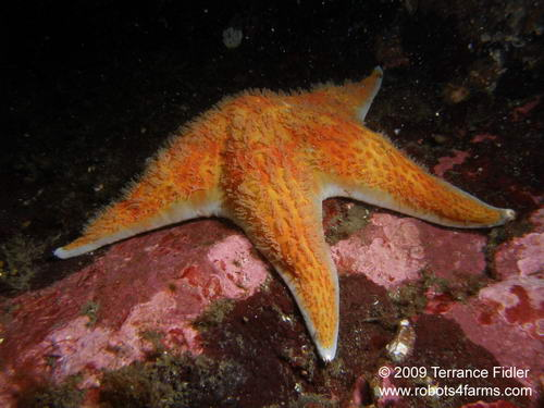Leather Starfish