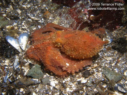 PGO pacific giant octopus cephalopod  - China Creek near Port Alberni - scuba diving site vancouver island british columbia canada