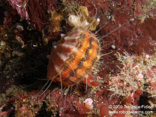 Swimming Scallop mollusk  - China Creek near Port Alberni - scuba diving site vancouver island british columbia canada