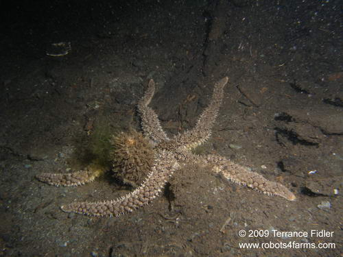 Velcro Starfish echinoderm  - China Creek near Port Alberni - scuba diving site vancouver island british columbia canada