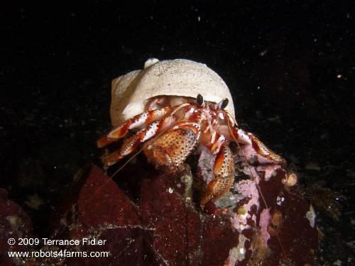 Black Eyed Hermit Crab crustacean  - China Creek near Port Alberni - scuba diving site vancouver island british columbia canada