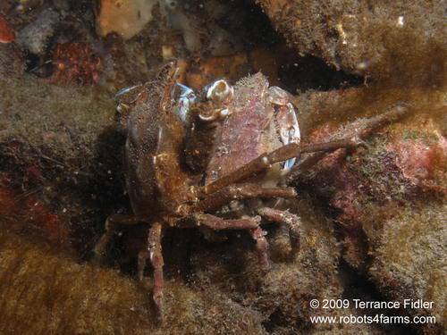 Foliate Kelp Crabs mating