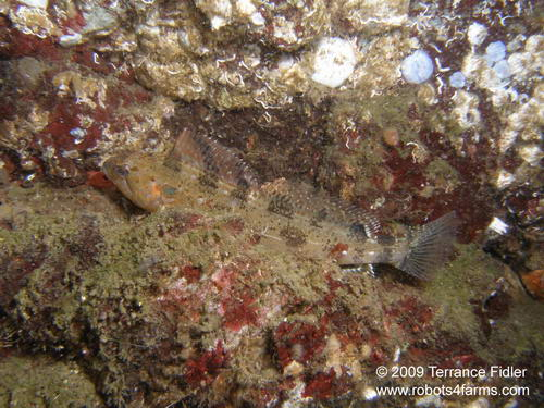 White Spotted Greenling - a fish - Daphne Islet North Saanich - scuba diving site vancouver island british columbia canada