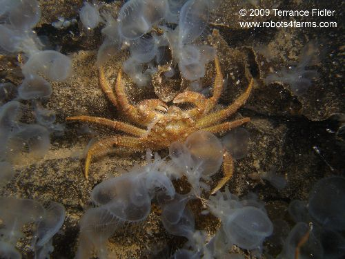Helmet Crab surrounded by Hooded Nudibranchs - Deep Cove North Saanich Sidney - scuba diving site vancouver island british columbia canada