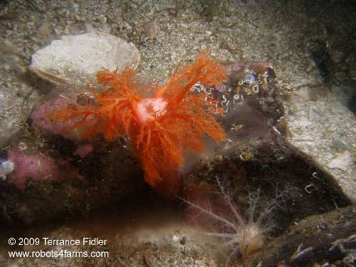 Red or Orange Sea Cucumber - ejecting sperm