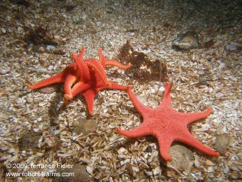 Vermilion Starfish - one with six arms - echinoderm  - Deep Cove North Saanich Sidney - scuba diving site vancouver island british columbia canada