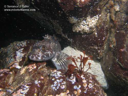 Ling Cod sitting with eggs fish  - Deep Cove North Saanich Sidney - scuba diving site vancouver island british columbia canada