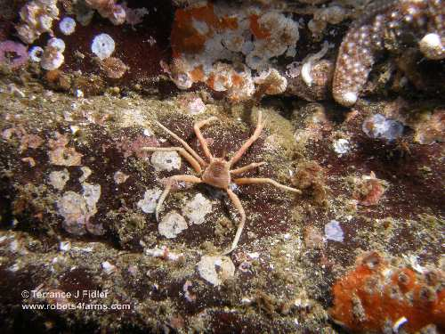 Juvenile Scaled Crab