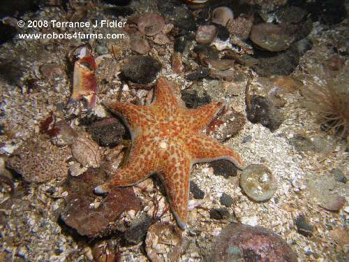 Leather Star with six arms starfish  - Elliot's Beach Park Ladysmith - scuba diving site vancouver island british columbia canada