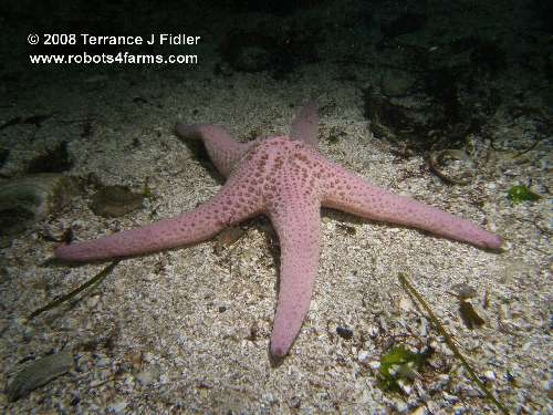 Spiny Pink Star starfish echinoderm - Elliot's Beach Park Ladysmith - scuba diving site vancouver island british columbia canada