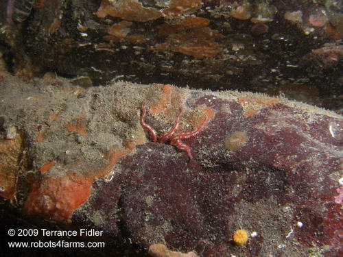 Daisy Brittle Starfish - the arms sticking out of a crack in the rocks