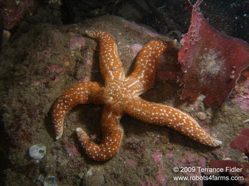 Mottled Starfish - Forest Island near Victoria - scuba diving site vancouver island british columbia canada