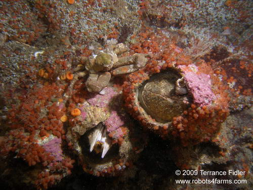 Sharp Nosed Crab sitting on Giant Acorn Barnacles