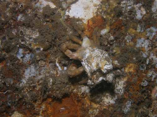 Decorator Crab with Barnacles