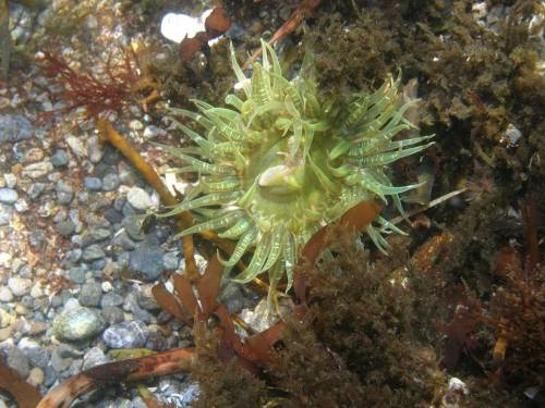 Buried Green Anemone