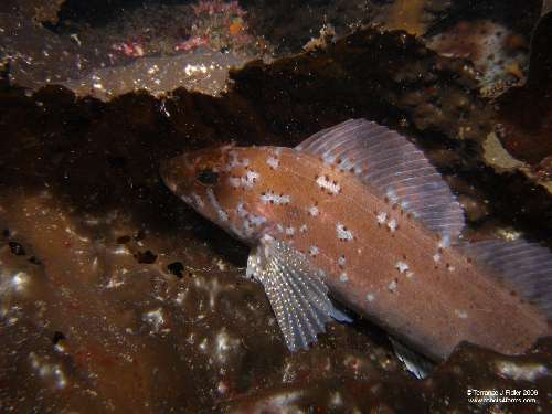 Kelp Greenling - male
