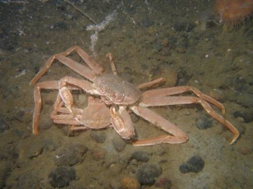 Snow Crabs Mating