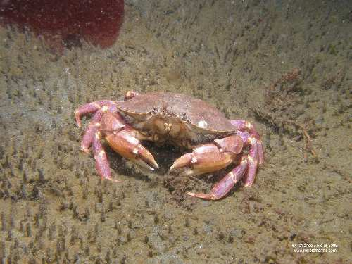 Slender Cancer Crab