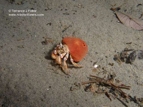Blackeyed hermit crab