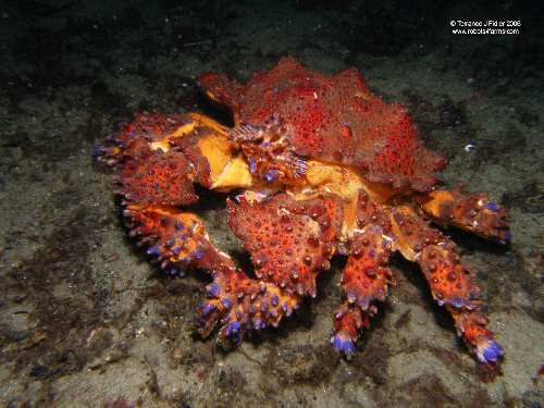 Puget Sound King Crab