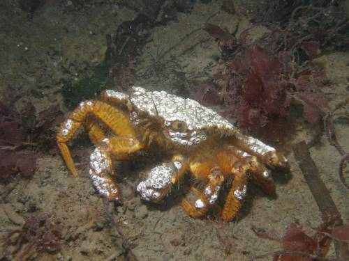 Helmet Crab with Barnacles