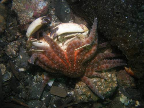 Starfish Eats Crab