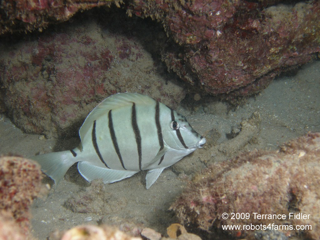 Convict Tang For Sale Convict Tang a Fish