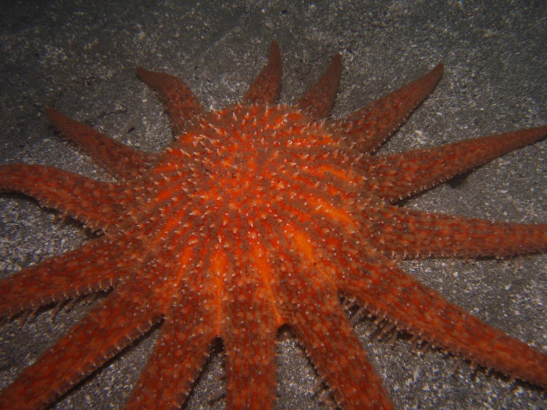 Sun Sea Star