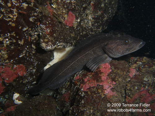 Ling Cod male guarding eggs
