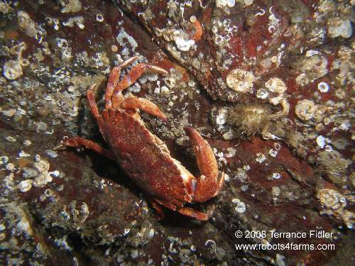 Red Rock Crab and Spiny Tunicate
